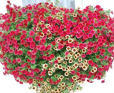 Letošnje cvetje na oknih in vrtovih v Mengšu