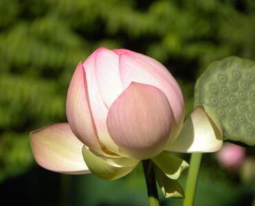 Indijski lotusi