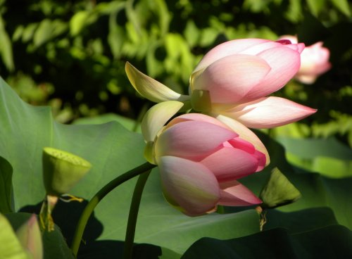 Inbdijski lotus 2, foto Jože Vahtar