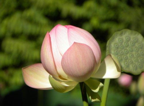 Indijski lotus - posnetek z Šmarjeških toplic